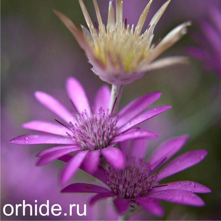 Ксерантемум выращивание из семян 413