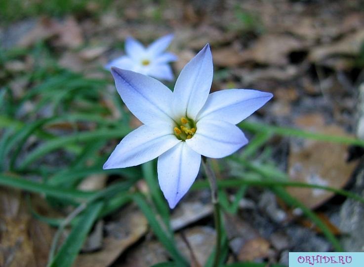 Цветок ифейон в домашних условиях