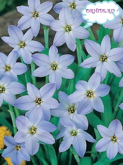 Прекрасные цветы цветы ифейон на фото