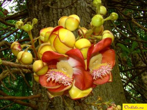курупита гвианская couroupita guianensis