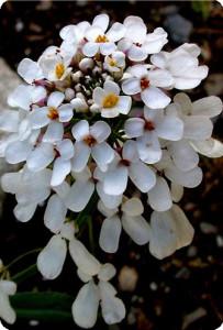 Растение Иберийка