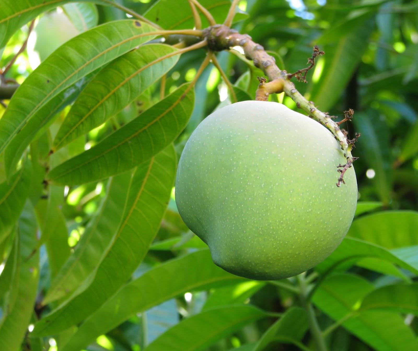 Как вырастить манго в домашних условиях?