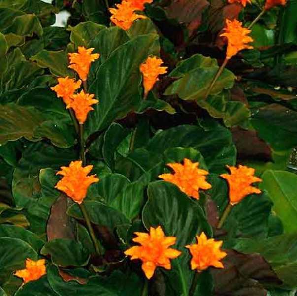 Цветок калатея фото