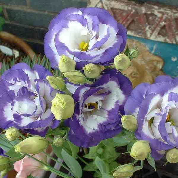 Эустома однолетний цветок