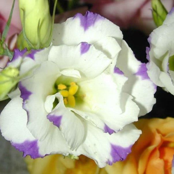 Эустома цветок фото