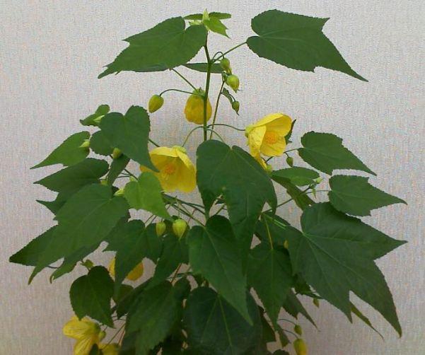 http://orhide.ru/wp-content/uploads/2014/04/abutilon.jpg