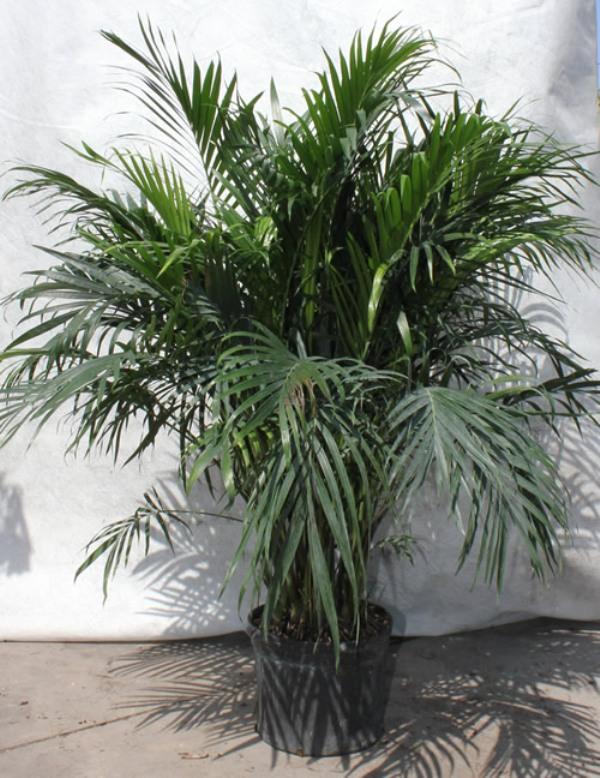Цветы комнатные пальмовые