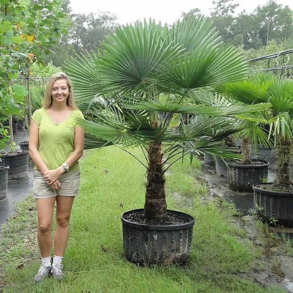 trachycarpus11