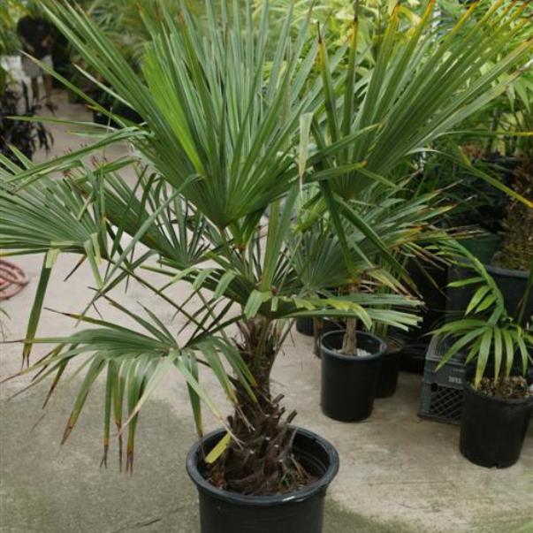 trachycarpus3