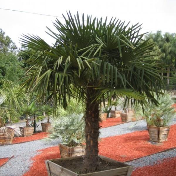 trachycarpus4