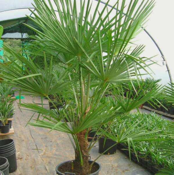 trachycarpus5