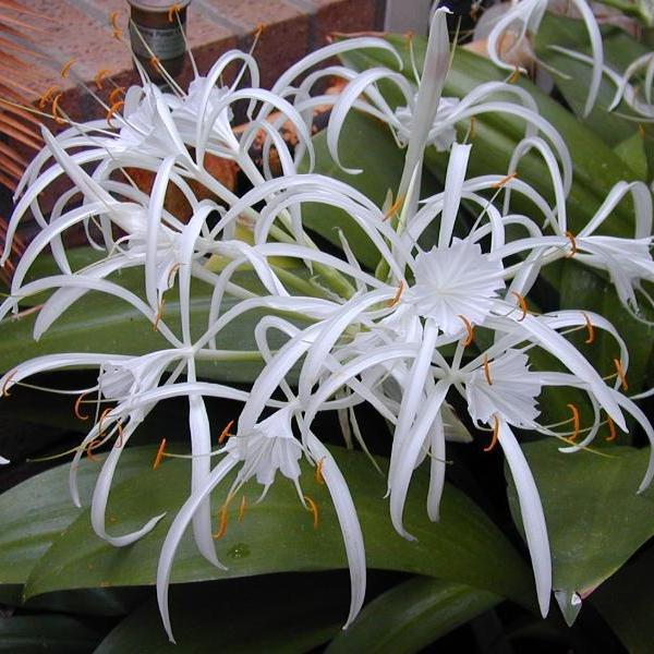 на фото цветы гименокаллис