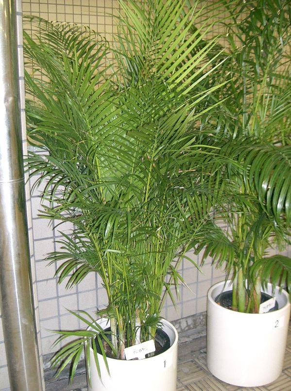 на фото пальма арека
