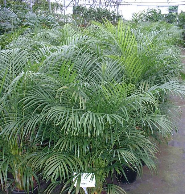 фото пальмы арека