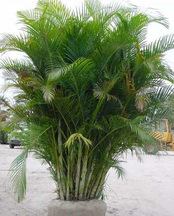 разновидности пальм  с названиями