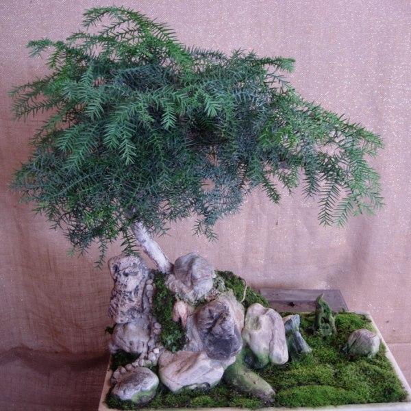 bonsai_araucaria