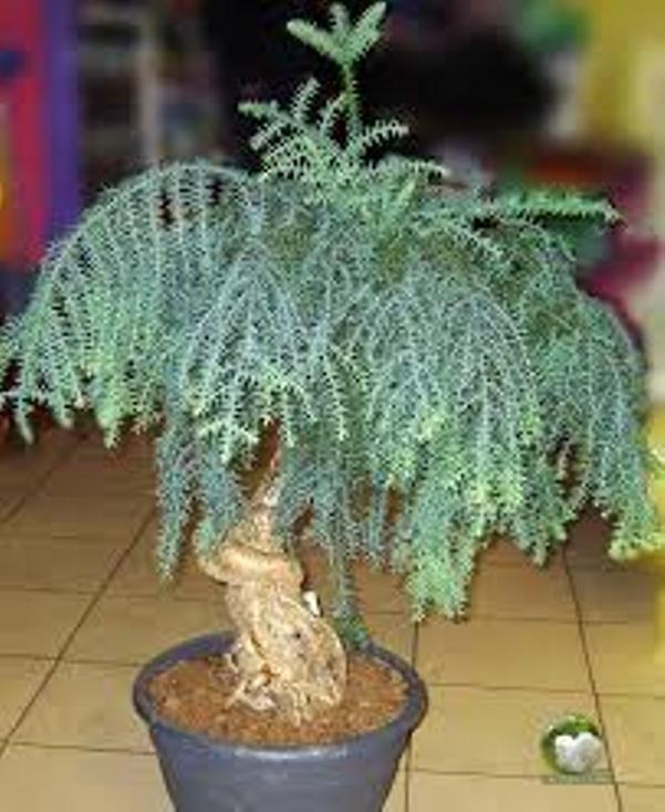 bonsai_araucaria1