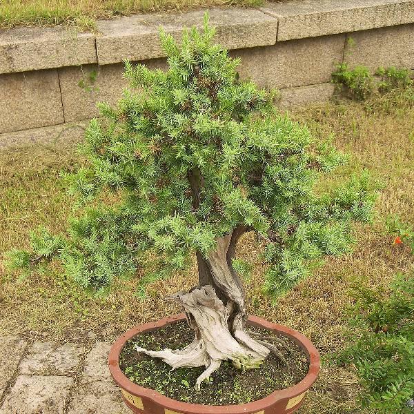 bonsai_araucaria2