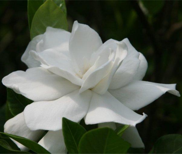 gardeniya5