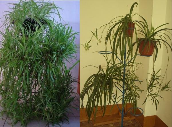 Как вырастить хлорофитум в домашних условиях