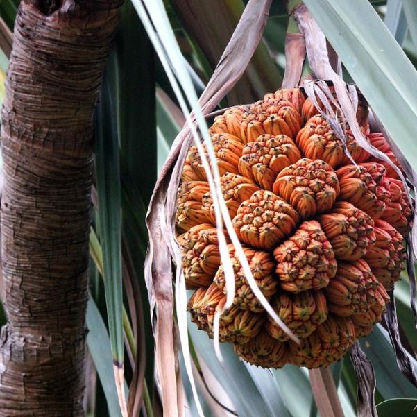 на фото плоды пандануса