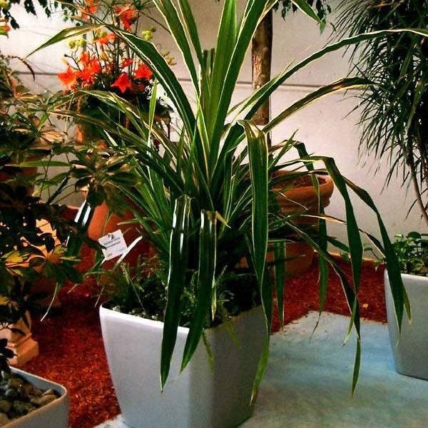 Пальмовые уход в домашних условиях 42