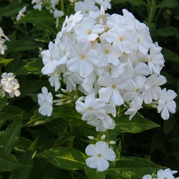 фото цветов стефанотис