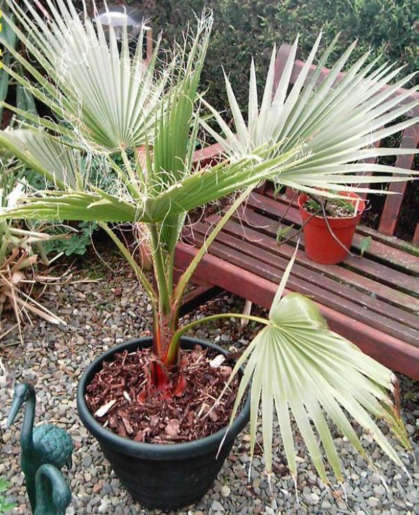 фото пальмы вашингтония