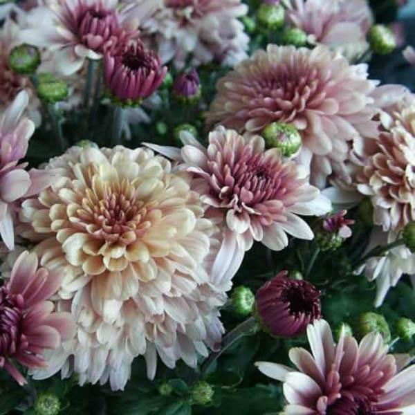 хризантемы садовые многолетние сорта