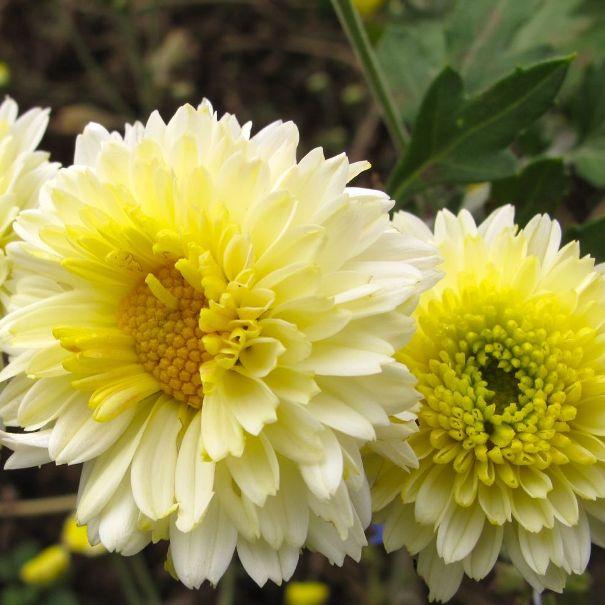 фото садовых хризантем