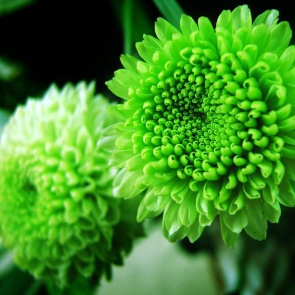 многолетние хризантемы на фото
