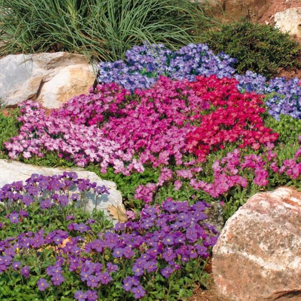 цветы обриента на фото