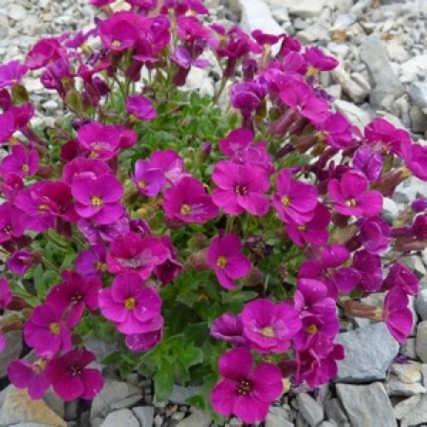 цветы обриенты на фото