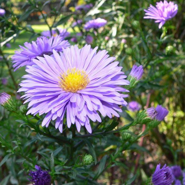 на фото цветы сентябринки
