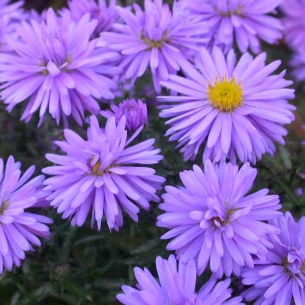 фото цветка сентяборинки