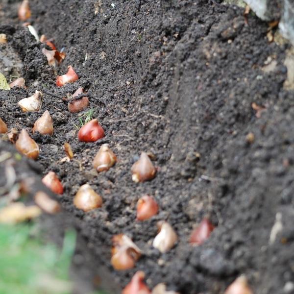 Посадка тюльпанов, как и когда сажать луковицы - Дачные советы 78