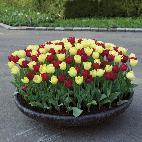 Когда сажать тюльпаны осенью 58