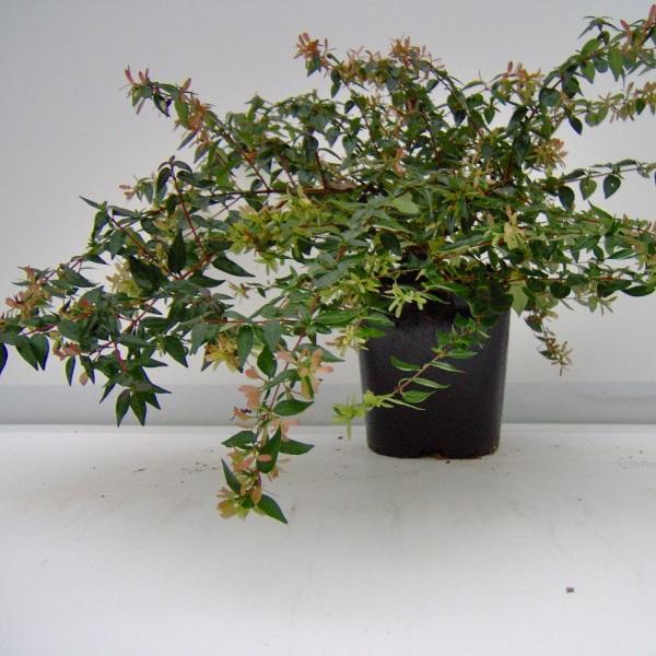 на фото растение абелия