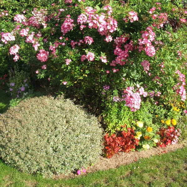 фото абелии в саду