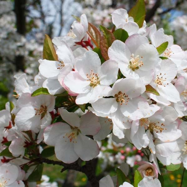Декоративные яблони
