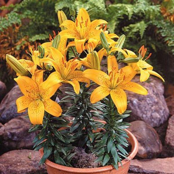 lilii-v-gorchke1