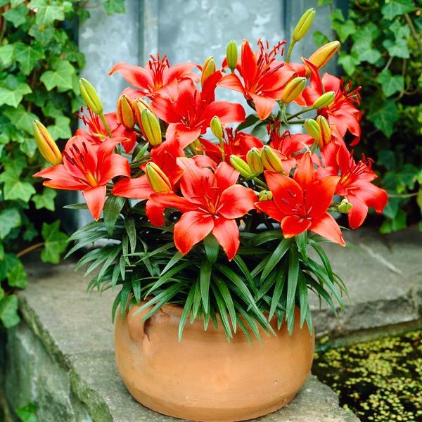 lilii-v-gorchke6