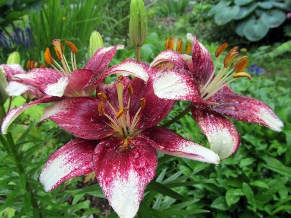 lilii-v-gorchke7