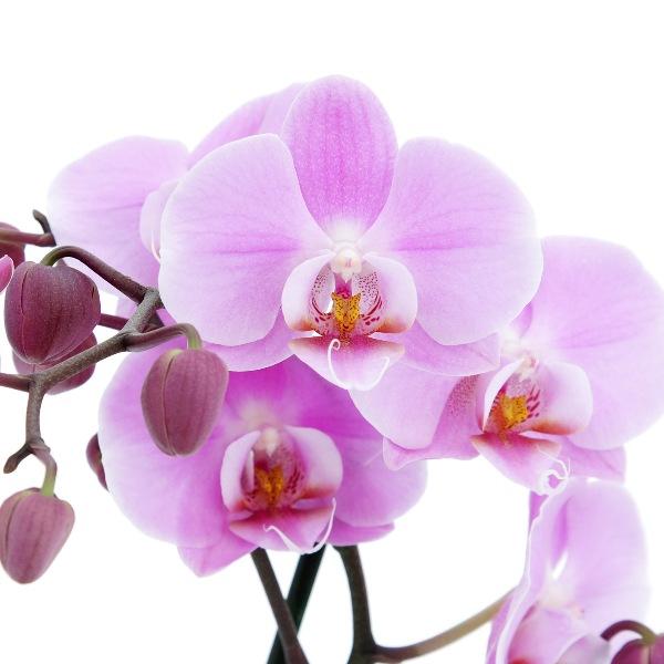 orhideya2