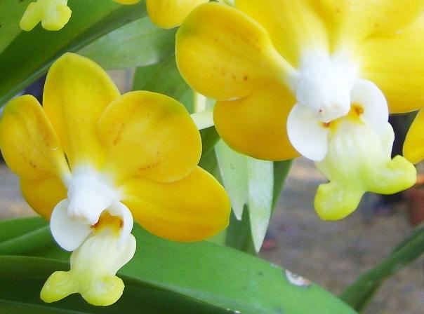 Орхидея не цветет год что делать