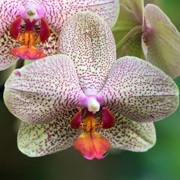 orhideya6