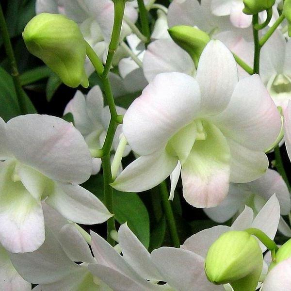 orhideya9