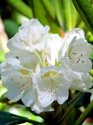 Рододендроны фото