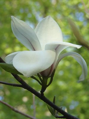 Цветок магнолия