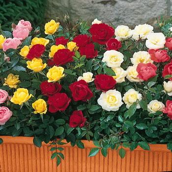 Лучшие сорта роз с фото и названиями